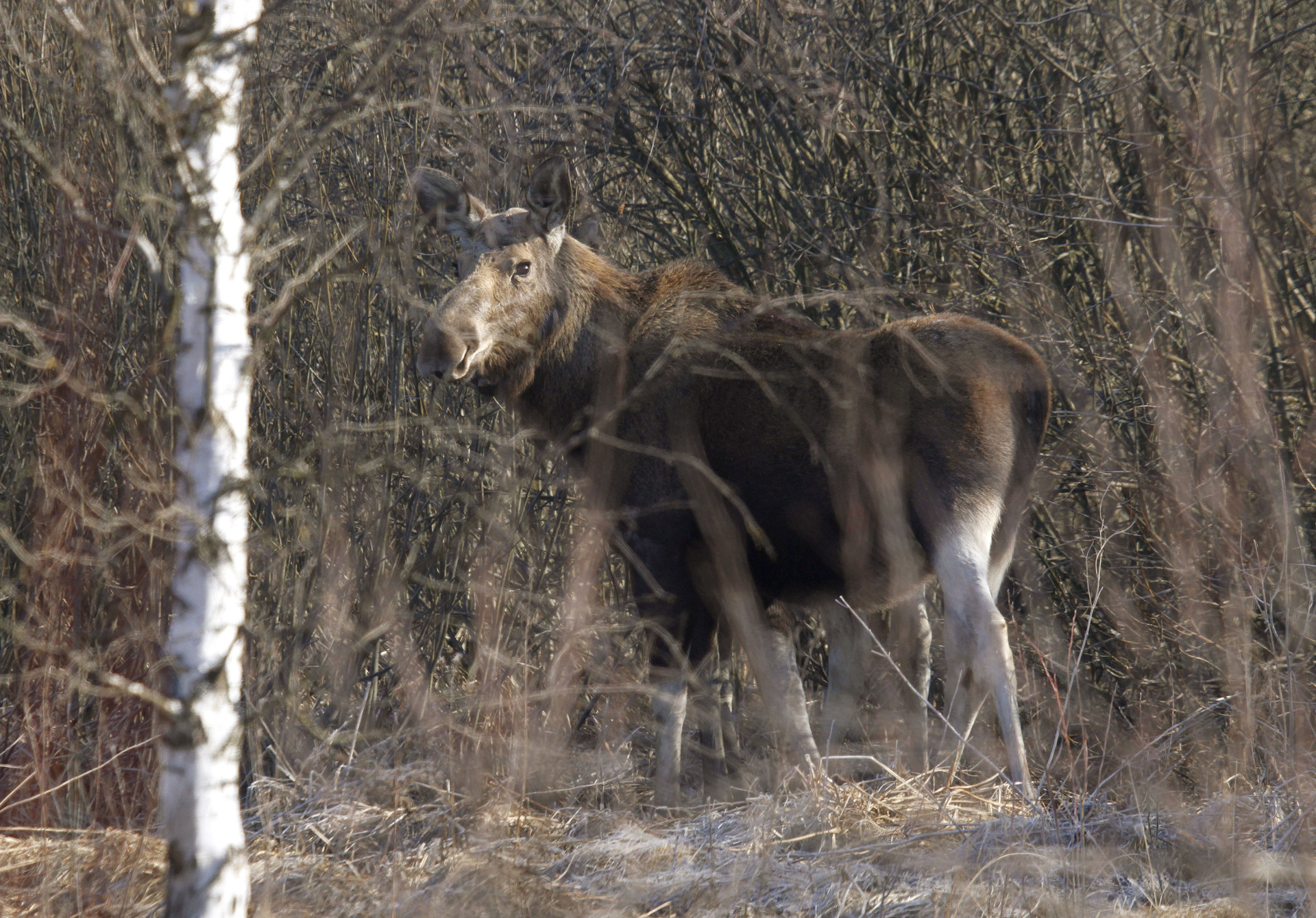 La zona de exclusión de Chernóbil se convierte en un 'paraíso' para la fauna silvestre
