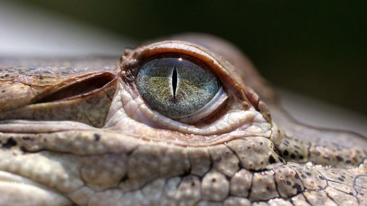 Honduras: 11.000 cocodrilos están muriendo de hambre debido a sanciones de EE.UU.
