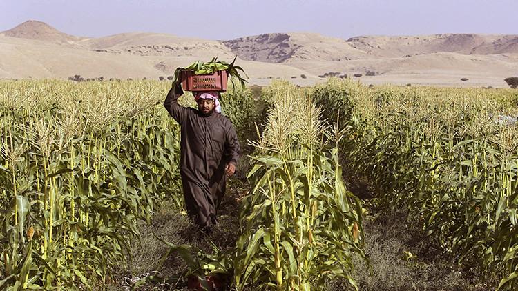Arabia Saudita acaba con sus cultivos de trigo para salvar sus reservas de agua