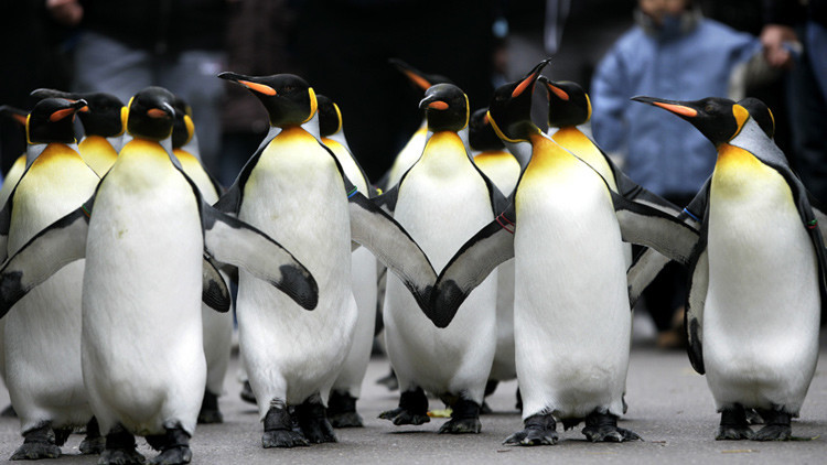 Pillados infraganti: la corta aventura de los pingüinos que quisieron ser libres (video)