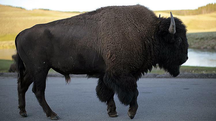 """""""Vergonzoso"""": el Parque Nacional de Yellowstone estudia matar 1.000 bisontes"""