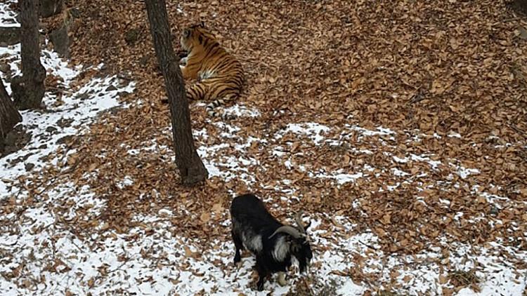 Una valiente cabra pone en su sitio a un tigre siberiano en un parque zoológico en Rusia (VIDEO)