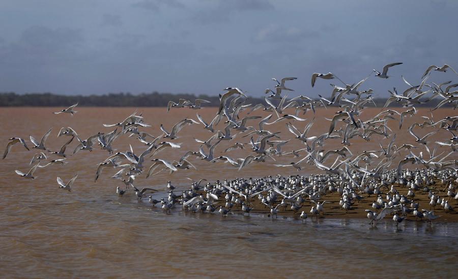 Las gaviotas cerca del Río Doce, Brasil