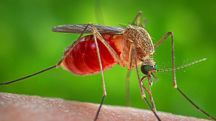 Modifican genéticamente a mosquitos para luchar contra la malaria