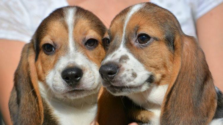 Nace la primera camada de perros por fecundación in vitro