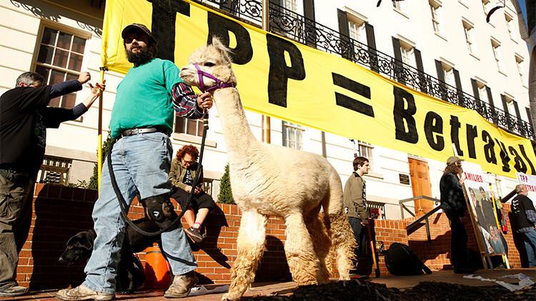 El activista Ethan Abbott camina junto a su alpaca durante una protesta contra el TPP