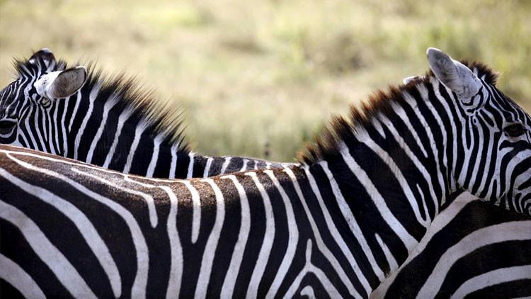 Matemática de la naturaleza: una fórmula explica la distribución de las rayas en las cebras