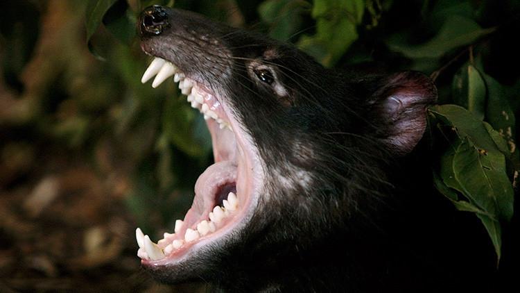 Los demonios de Tasmania hacen cuestionar la rareza de los cánceres contagiosos