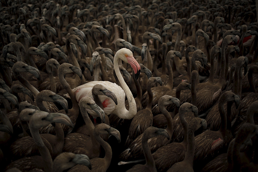 A flamingo and flamingo chicks are seen in a corral before being fitted with identity rings at dawn at a lagoon in the Fuente de Piedra natural reserve, in Fuente de Piedra, near Malaga