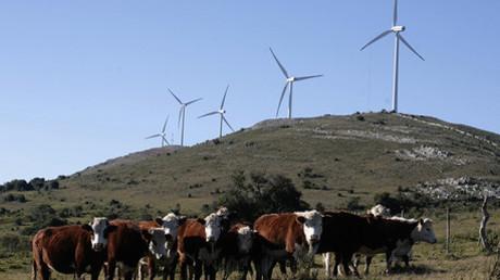 Vacas pastan cerca de una granja eólica en Maldonado, 170 kilómetros al este de Montevideo.
