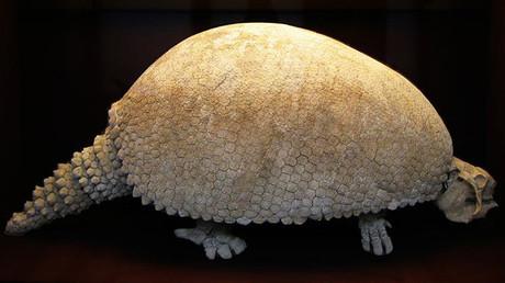 Un gliptodonte del pleistoceno superior hallado en el Rio Lujan, Argentina, en el Museo de Historia Natural de Viena.