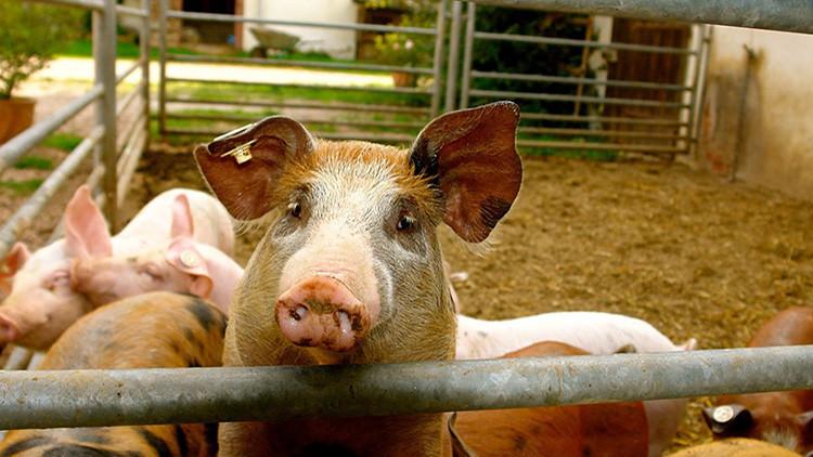 El Reino Unido puede permitir el cultivo de órganos humanos en cuerpos de animales