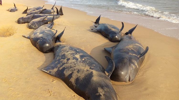 Fotos, video: ¿Qué causó la extraña muerte de 100 ballenas en la costa de India?