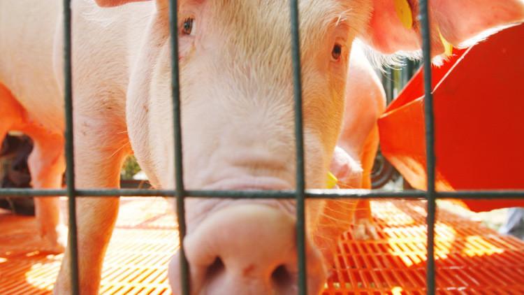 ¿Proyecto revolucionario o falta de ética? En EE.UU. crean híbridos de humanos y animales
