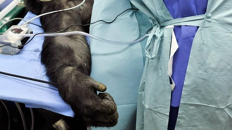 Australia usa primates para hacer estudios médicos al estilo de Frankenstein