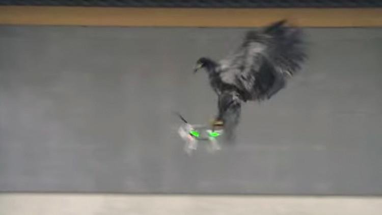 Video: Águilas adiestradas 'cazan' drones en Países Bajos
