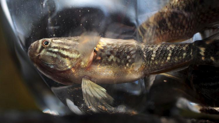 """El """"pez sambo"""", ¿la solución definitiva al virus del Zika?"""