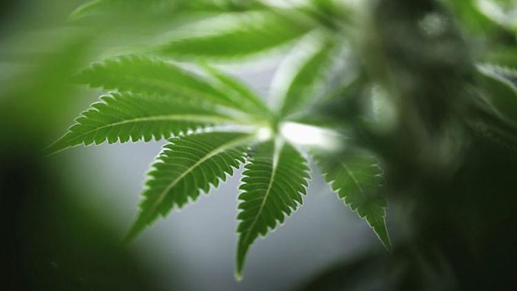 Sorprendente: La marihuana no afecta al coeficiente intelectual