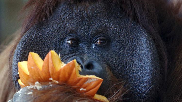 Lo nunca visto en el mundo animal: un asesinato coordinado entre dos hembras orangutanes