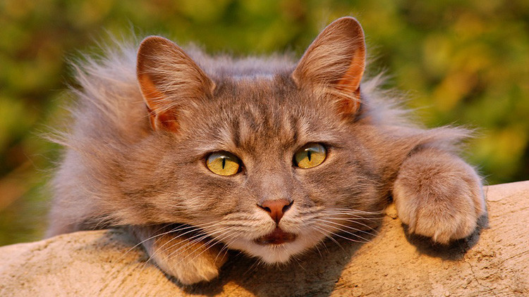 ¿Receta contra el miedo?: Un parásito gatuno altera el comportamiento de los humanos