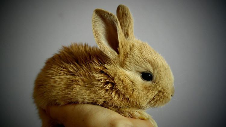 ¿Salto pionero hacia la inmortalidad? Recuperan un cerebro de conejo tras ser criogenizado