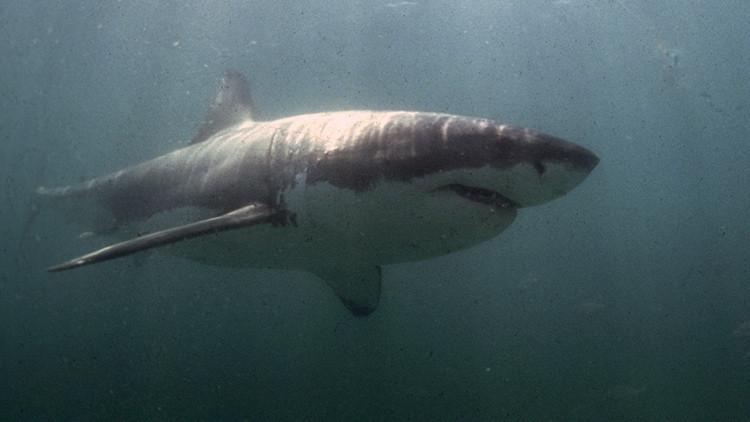 'Acusan' a los tiburones blancos de comerse los tiburones más grandes del mundo