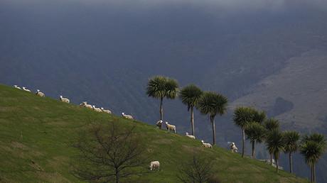 Ovejas pastan en una colina en Purakaunui, cerca de la ciudad de Dunadin, Nueva Zelanda