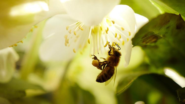 Las abejas se extinguen y nosotros podríamos ser los siguientes