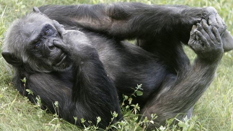 ¿Creen los chimpancés en dios? Descubren un comportamiento extraño en primates africanos (VIDEO)