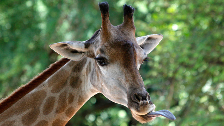 Video: A una jirafa se le atasca la cabeza en un árbol falso
