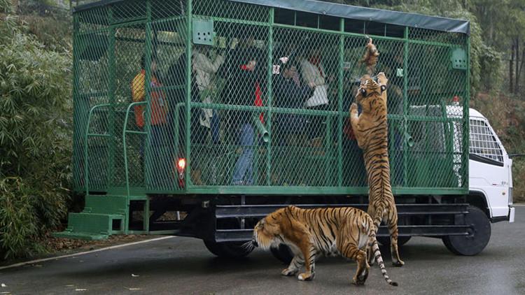¿Qué siente un animal enjaulado? Un zoo chino ofrece la oportunidad de experimentarlo