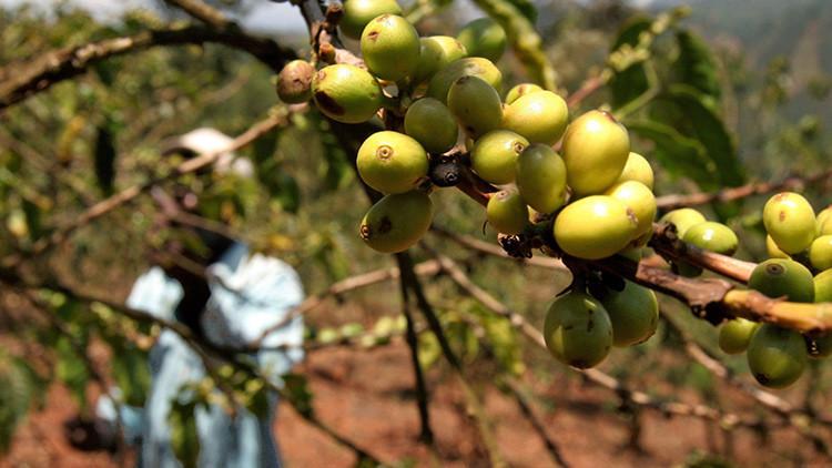 La reacción inesperada de cultivadores de café kenianos al probar por primera vez la bebida
