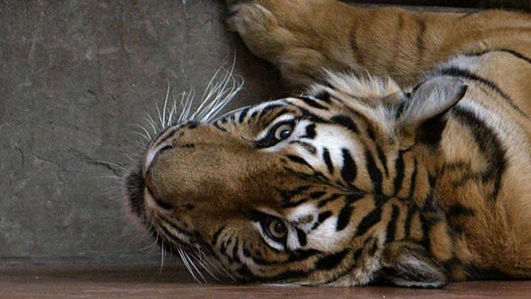 Miles de tigres mueren de hambre para elaborar vino afrodisíaco con sus huesos (Fotos)