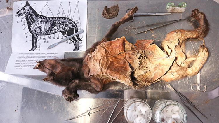 Hallan en Siberia un cachorro de 12.500 años con el cerebro muy bien preservado