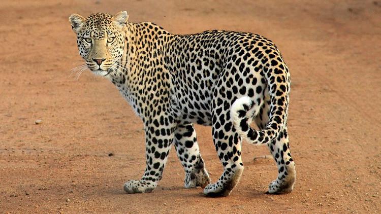 Un cómico 'entristece' a los españoles al posar con un leopardo abatido en un safari