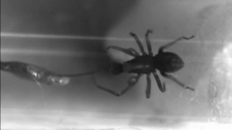 Pequeñas pero peligrosas: Filman a las arañas que muerden con mayor rapidez de la naturaleza