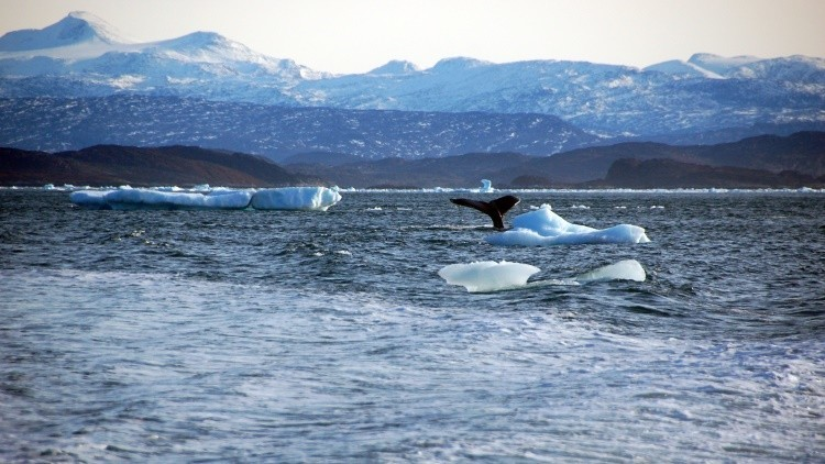 Una ballena se zambulle cerca de las costas de Groenlandia
