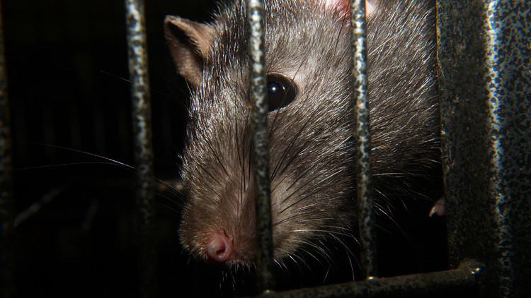 """'Ratadzillas': ratas """"del tamaño de un gato"""" causan espanto en Londres (FOTO)"""