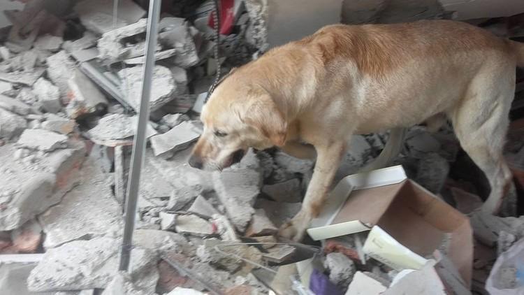 Muere por deshidratación un perro que ayudó a rescatar a sobrevivientes en Ecuador