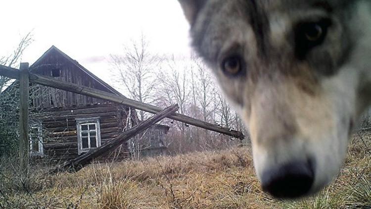 Biólogos descubren el secreto de la supervivencia de animales en la zona de exclusión de Chernóbil
