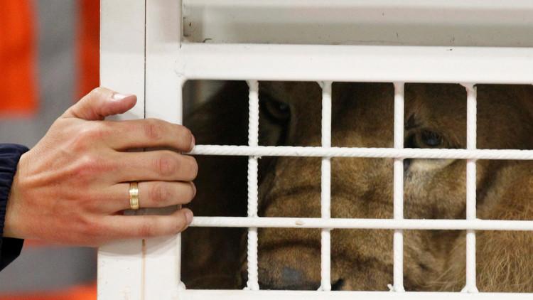 'Madagascar': 33 leones rescatados de circos en Sudamérica serán liberados en África (video)