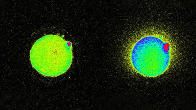 La chispa de la vida: detectan el destello que se produce durante la concepción (VIDEO, FOTOS)
