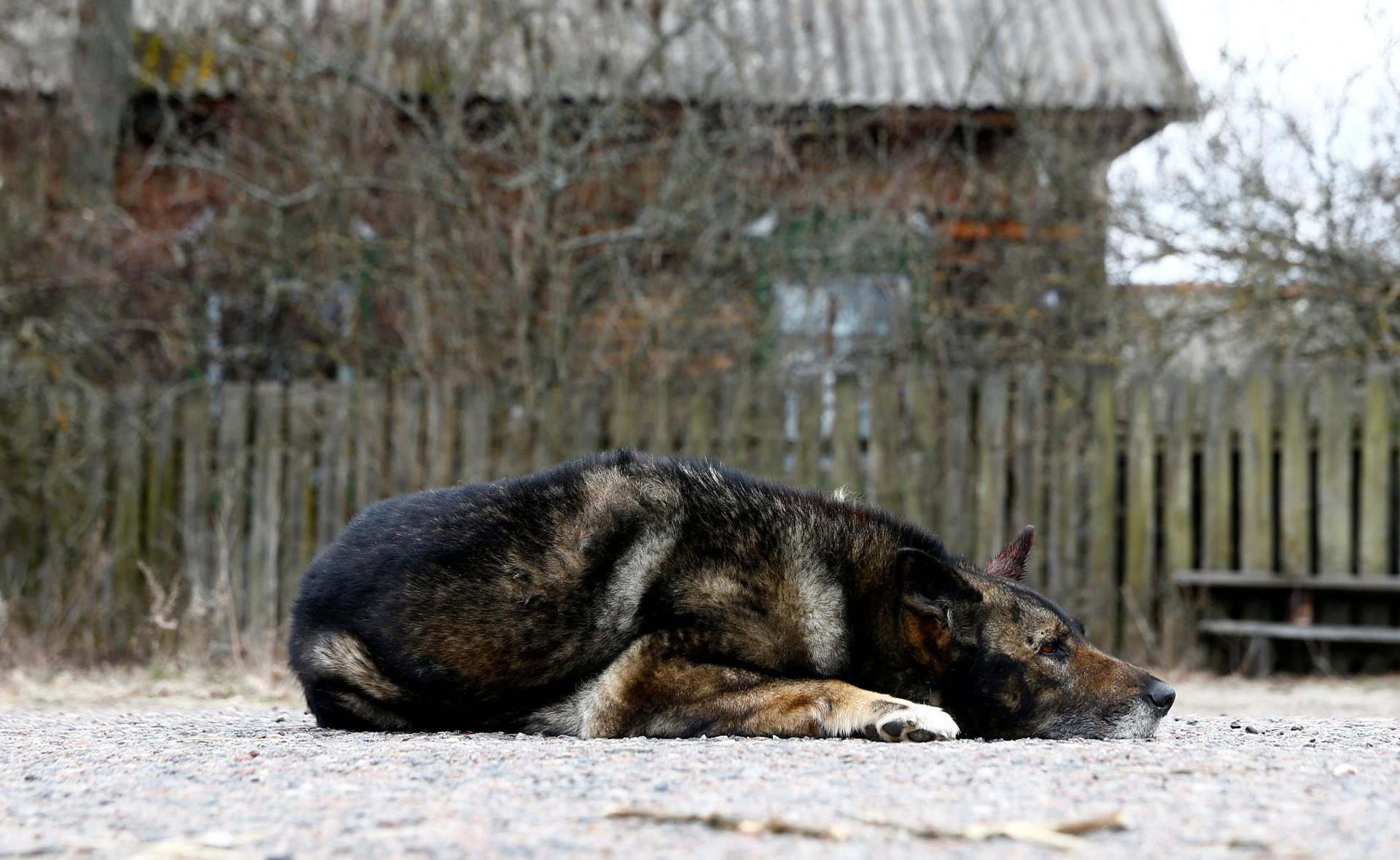 El perro de Shamianok en Tulgovichi, en plena zona de exclusión