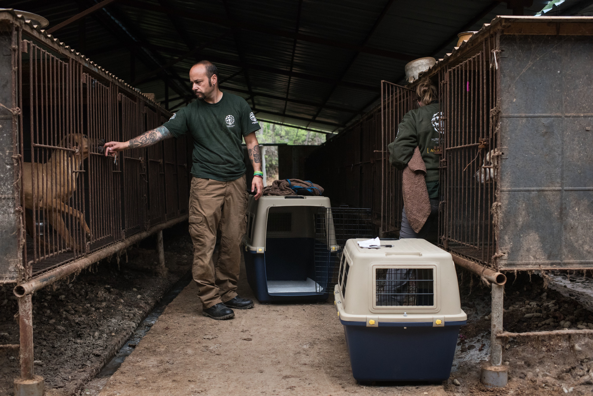 Unos activistas rescatan a 200 perros criados para el consumo humano