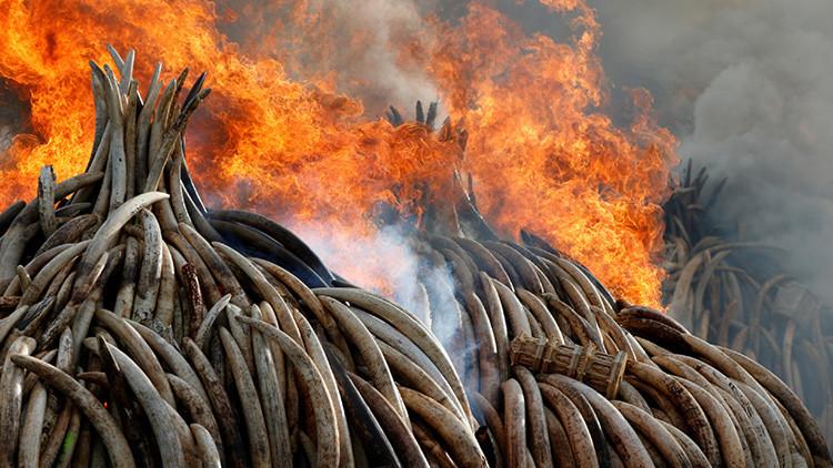 Por qué Kenia quema la mayor cantidad de marfil de la historia (FOTOS, VIDEO)