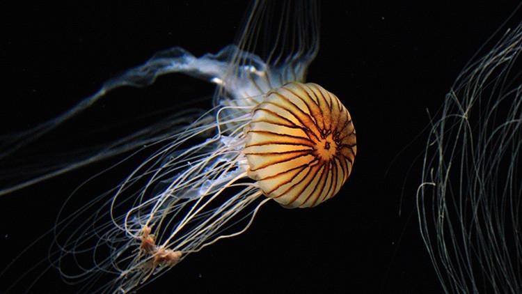 China avanza en la lucha contra la fabricación de medusas falsas