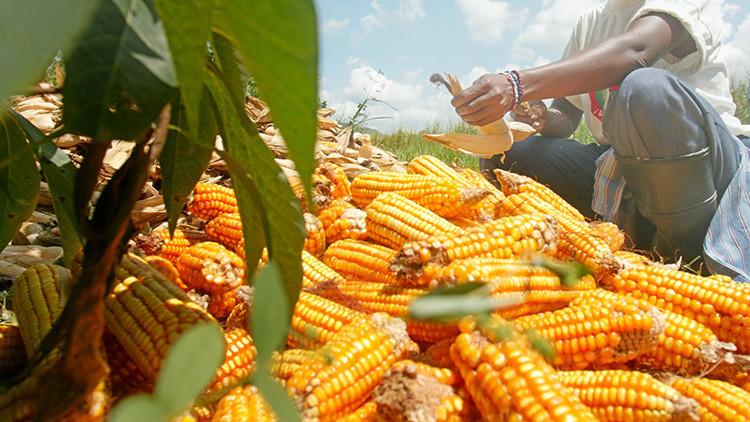 ¿Una solución contra el hambre? Científicos descubren cómo aumentar la producción de cereales