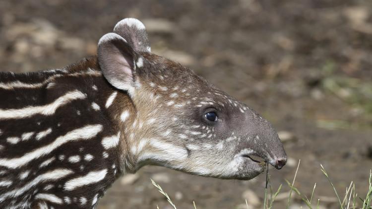 Intacto: Hallan en España los restos fósiles completos de un tapir de 3 millones de años (Fotos)