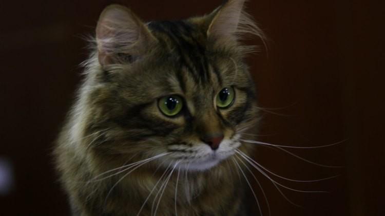 Maravilla cuántica: el gato de Schrodinger puede estar vivo y muerto a la vez