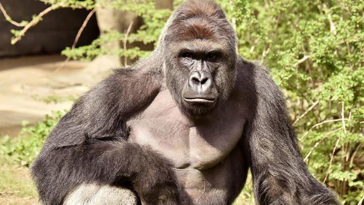 VIDEO DRAMÁTICO: Un niño cae al foso de un gorila en un zoológico y lo matan para salvar al menor